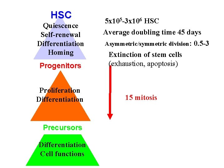 HSC Quiescence Self-renewal Differentiation Homing Progenitors Proliferation Differentiation Precursors Differentiation Cell functions 5 x