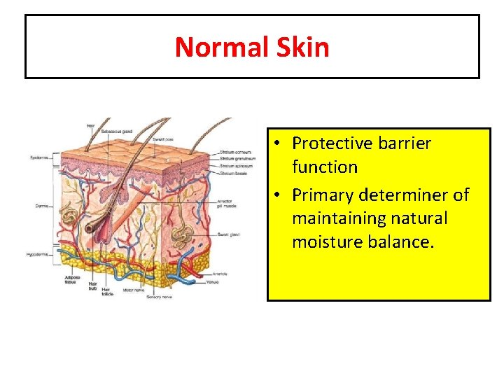 Normal Skin • Protective barrier function • Primary determiner of maintaining natural moisture balance.