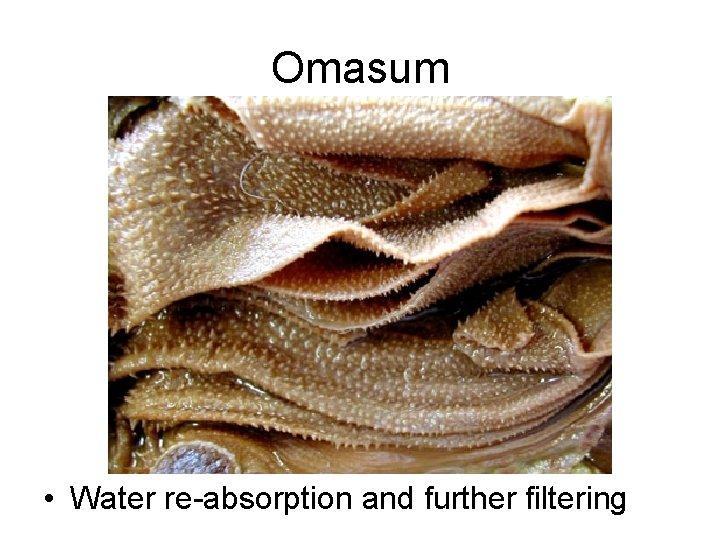 Omasum • Water re-absorption and further filtering