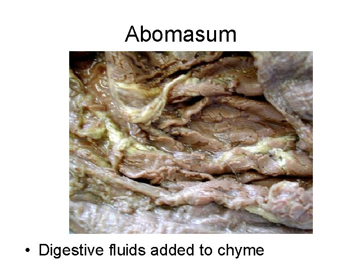 Abomasum • Digestive fluids added to chyme