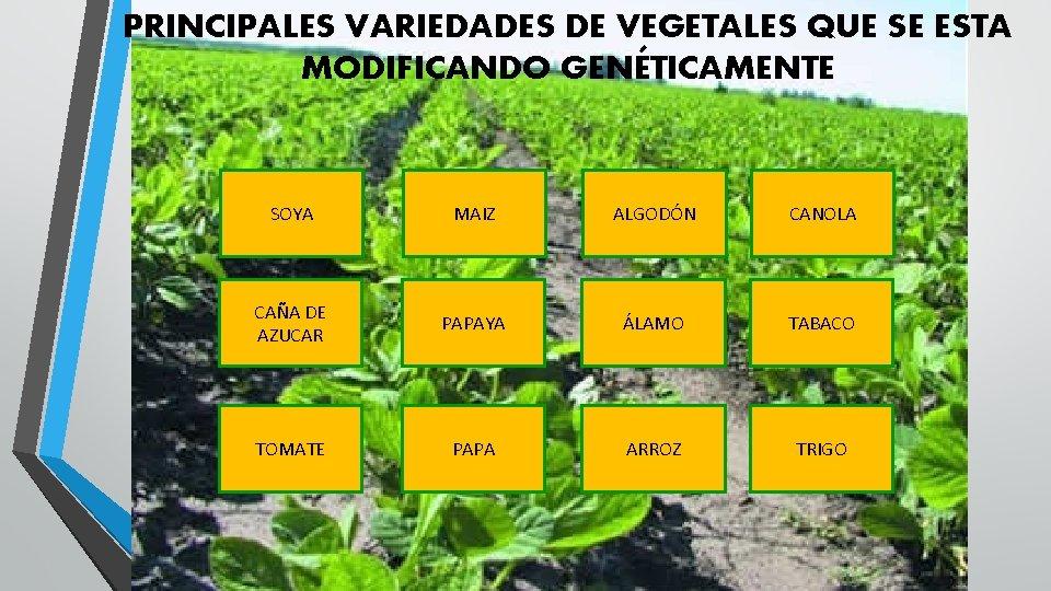 PRINCIPALES VARIEDADES DE VEGETALES QUE SE ESTA MODIFICANDO GENÉTICAMENTE SOYA MAIZ ALGODÓN CANOLA CAÑA