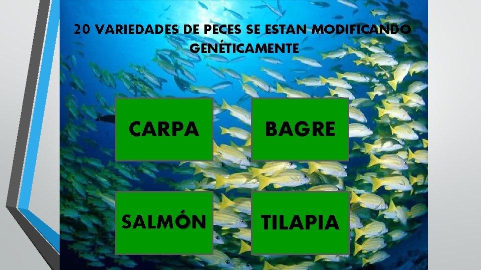 20 VARIEDADES DE PECES SE ESTAN MODIFICANDO GENÉTICAMENTE CARPA BAGRE SALMÓN TILAPIA