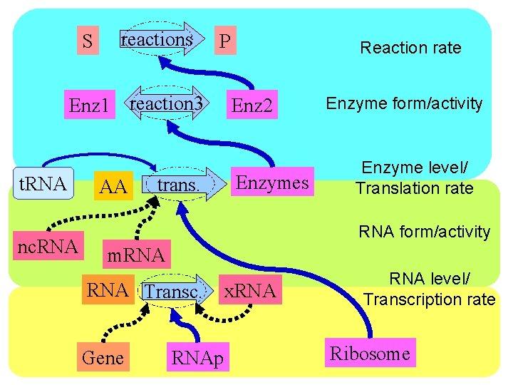 S reactions P Enz 1 reaction 3 t. RNA nc. RNA AA trans. Reaction