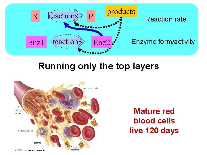 S reactions Enz 1 reaction 3 P products Enz 2 Reaction rate Enzyme form/activity