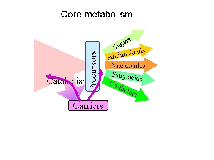 Precursors Core metabolism Carriers rs a g Su ds i c A o Amin