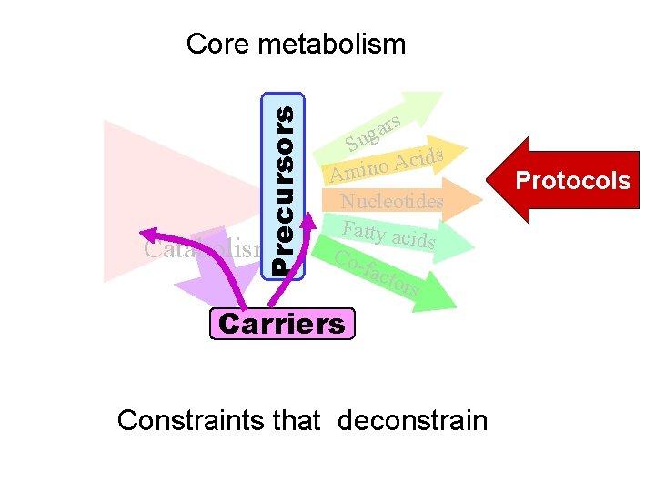 Precursors Core metabolism Catabolism rs a g Su ds i c A o Amin