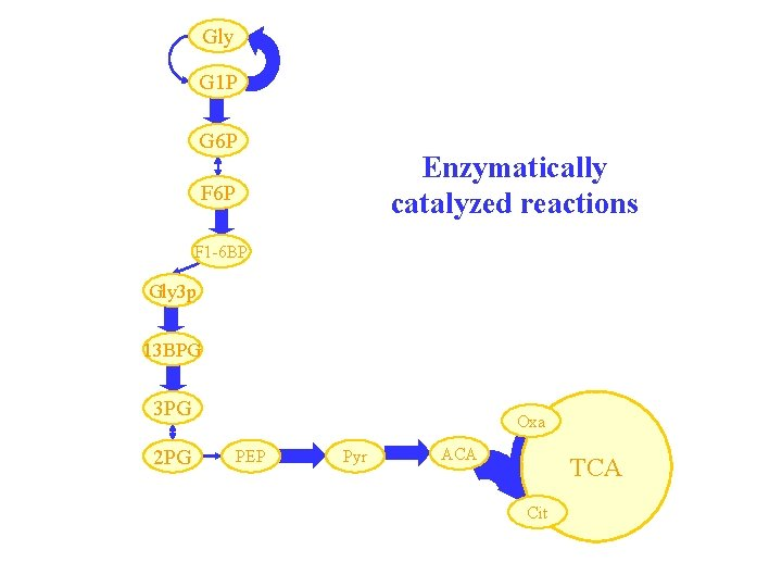 Gly G 1 P G 6 P Enzymatically catalyzed reactions F 6 P F