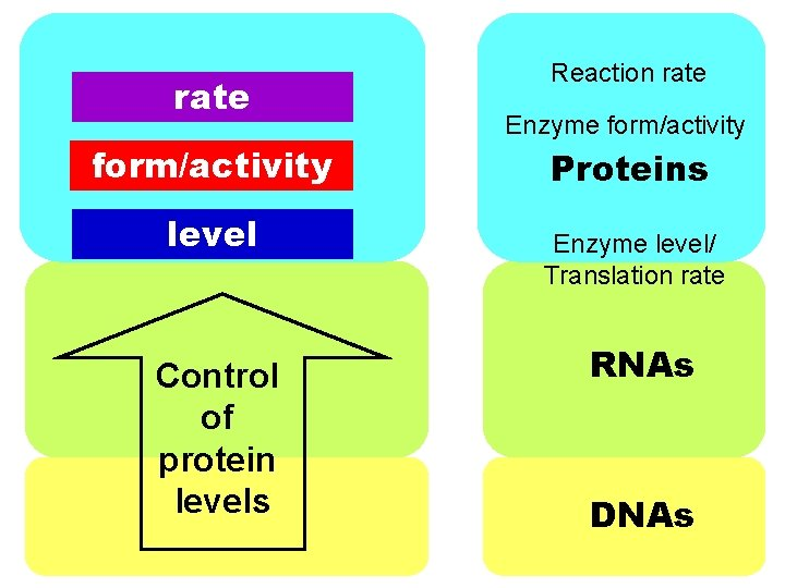 rate form/activity level Control of protein levels Reaction rate Enzyme form/activity Proteins Enzyme level/