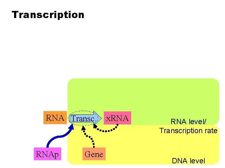 Transcription RNA Transc. RNAp Gene x. RNA level/ Transcription rate DNA level