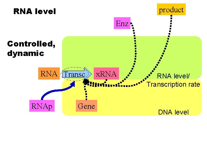 product RNA level Enz Controlled, dynamic RNA Transc. RNAp Gene x. RNA level/ Transcription