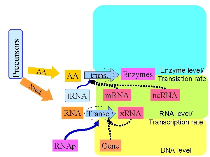 Precursors AA Nu cl . AA t. RNA trans. m. RNA Transc. RNAp Enzyme