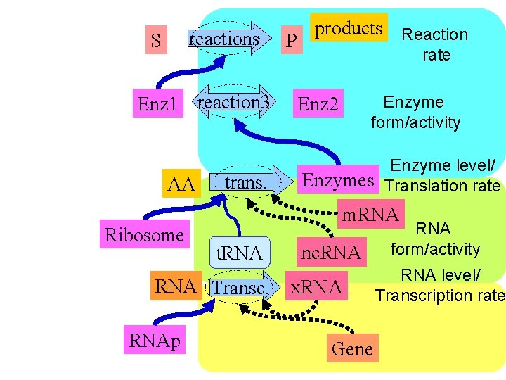 reactions S Enz 1 reaction 3 AA Ribosome trans. rate Enzyme form/activity Enz 2
