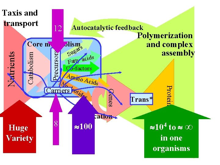 12 Autocatalytic feedback Polymerization and complex assembly 8 Genes Huge Variety gar u S