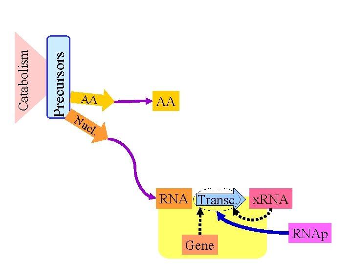 Precursors Catabolism AA Nu cl AA . RNA Transc. Gene x. RNAp