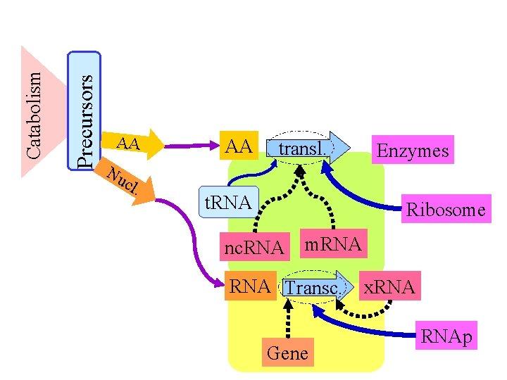 Precursors Catabolism AA Nu cl . AA transl. t. RNA Enzymes Ribosome nc. RNA