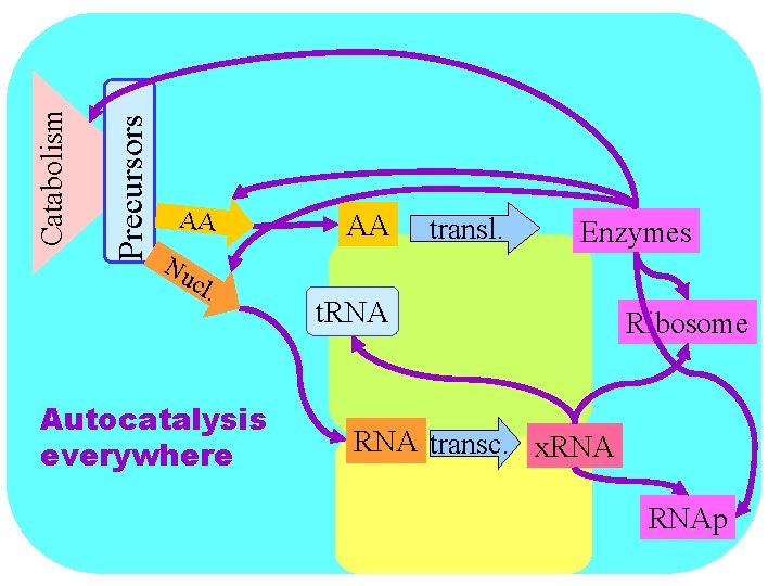 Precursors Catabolism AA Nu cl . Autocatalysis everywhere AA transl. Enzymes t. RNA Ribosome