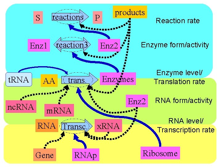 S reactions P Enz 1 reaction 3 t. RNA nc. RNA AA trans. products