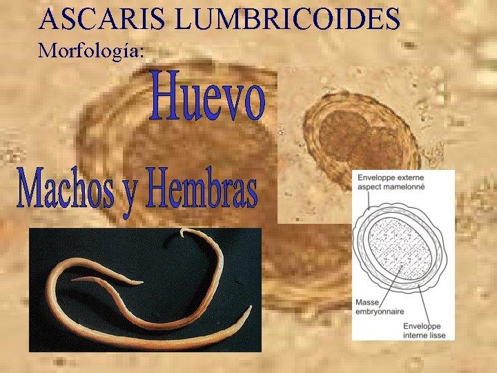 Ascaris morfológia