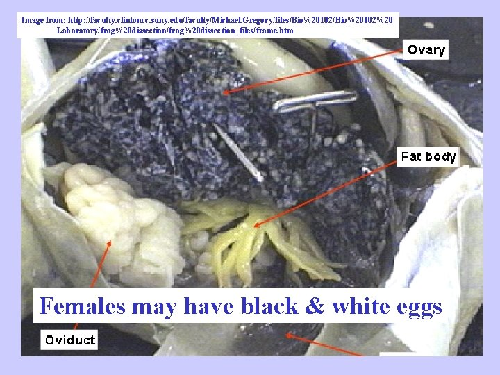Image from; http: //faculty. clintoncc. suny. edu/faculty/Michael. Gregory/files/Bio%20102%20 Laboratory/frog%20 dissection_files/frame. htm Females may have