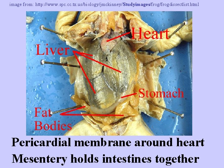 image from: http: //www. spc. cc. tx. us/biology/jmckinney/Studyimages/frogdissectlist. html Pericardial membrane around heart Mesentery