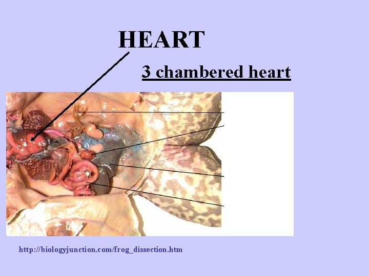 HEART 3 chambered heart http: //biologyjunction. com/frog_dissection. htm