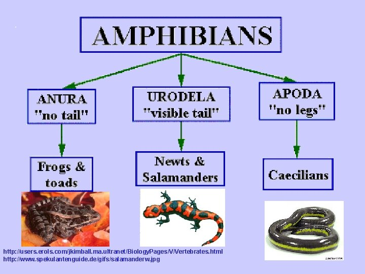 http: //users. erols. com/jkimball. ma. ultranet/Biology. Pages/V/Vertebrates. html http: //www. spekulantenguide. de/gifs/salamanderw. jpg