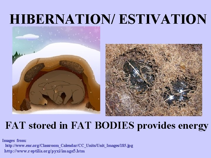 HIBERNATION/ ESTIVATION FAT stored in FAT BODIES provides energy Images from: http: //www. enc.