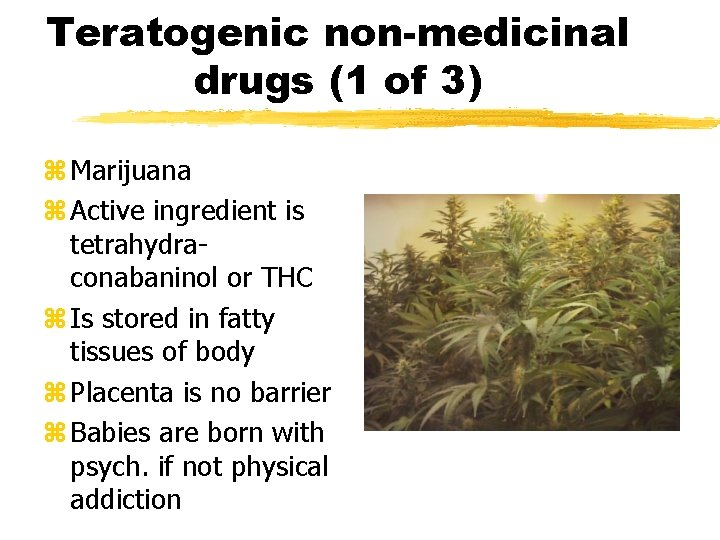 Teratogenic non-medicinal drugs (1 of 3) z Marijuana z Active ingredient is tetrahydraconabaninol or