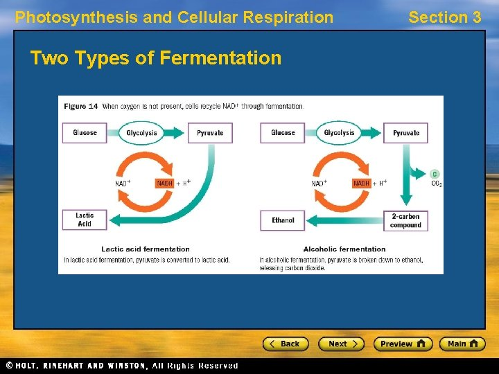 Photosynthesis and Cellular Respiration Two Types of Fermentation Section 3