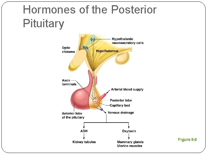 Hormones of the Posterior Pituitary Figure 9. 6