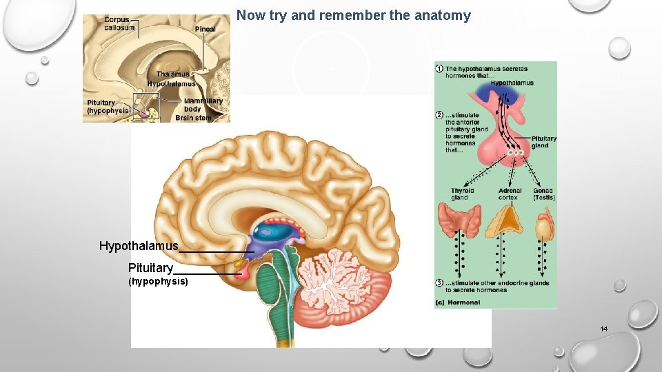 Now try and remember the anatomy Hypothalamus______ Pituitary_____ (hypophysis) 14