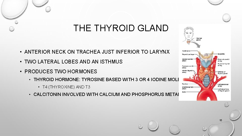 THE THYROID GLAND • ANTERIOR NECK ON TRACHEA JUST INFERIOR TO LARYNX • TWO