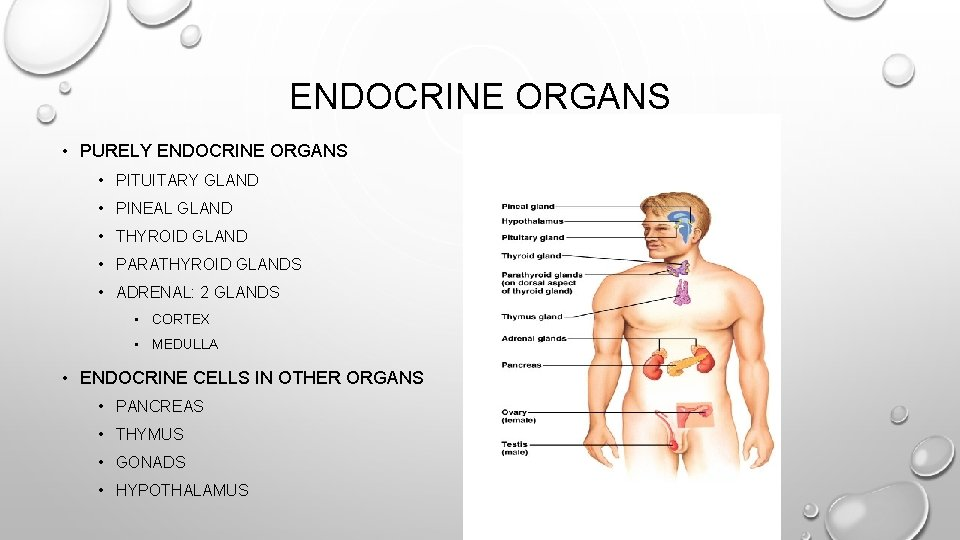 ENDOCRINE ORGANS • PURELY ENDOCRINE ORGANS • PITUITARY GLAND • PINEAL GLAND • THYROID