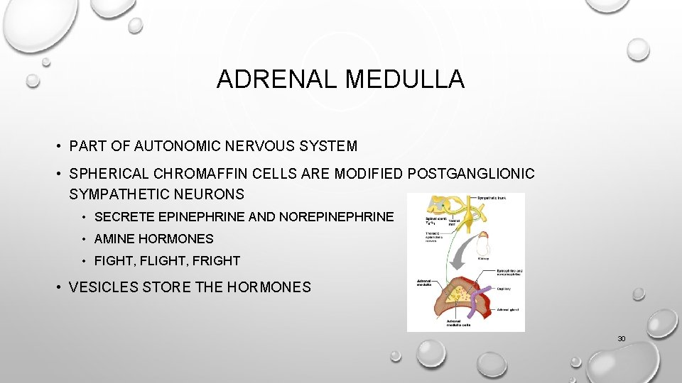 ADRENAL MEDULLA • PART OF AUTONOMIC NERVOUS SYSTEM • SPHERICAL CHROMAFFIN CELLS ARE MODIFIED