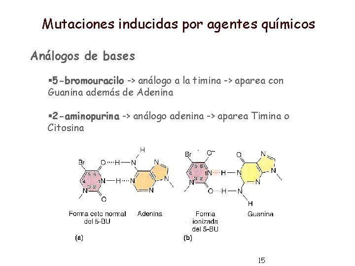 Mutaciones inducidas por agentes químicos Análogos de bases § 5 -bromouracilo -> análogo a
