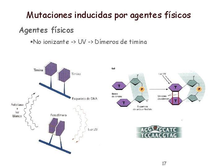 Mutaciones inducidas por agentes físicos Agentes físicos §No ionizante -> UV -> Dímeros de