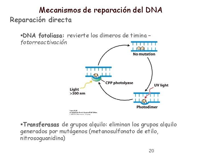 Mecanismos de reparación del DNA Reparación directa §DNA fotoliasa: revierte los dimeros de timina
