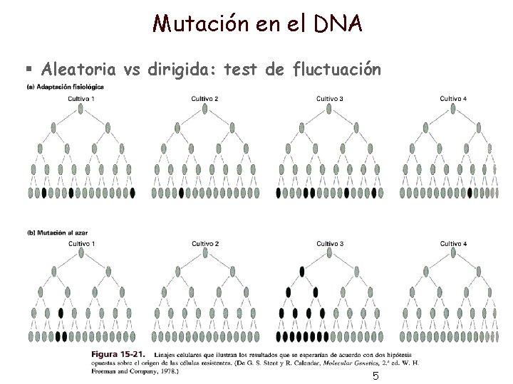 Mutación en el DNA § Aleatoria vs dirigida: test de fluctuación 5