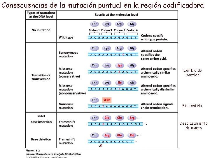 Consecuencias de la mutación puntual en la región codificadora Cambio de sentido Sin sentido