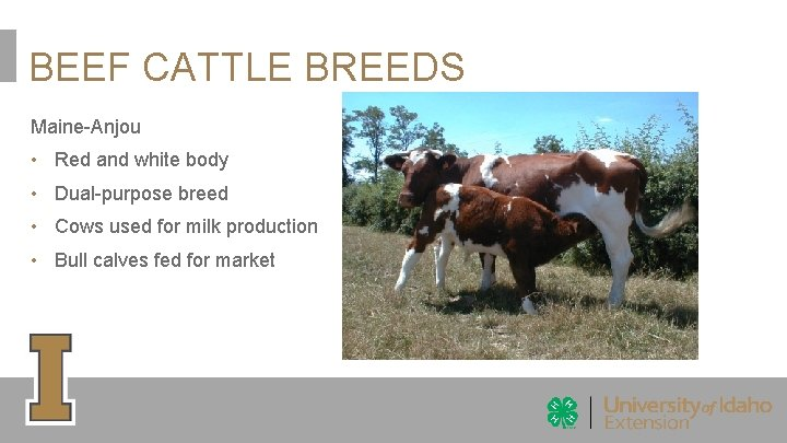 BEEF CATTLE BREEDS Maine-Anjou • Red and white body • Dual-purpose breed • Cows