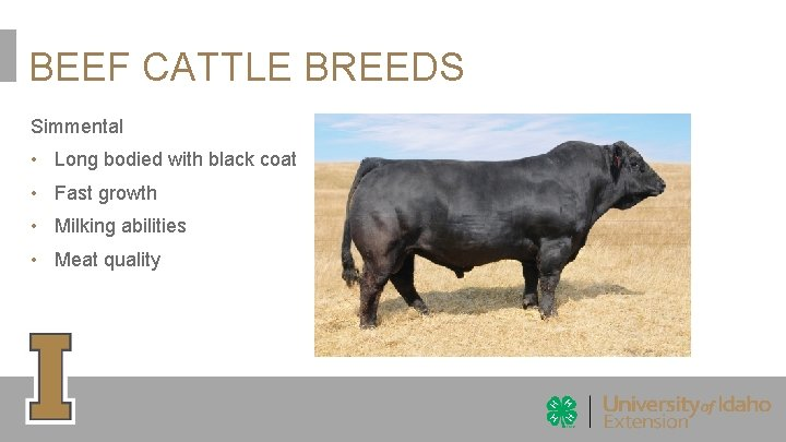 BEEF CATTLE BREEDS Simmental • Long bodied with black coat • Fast growth •