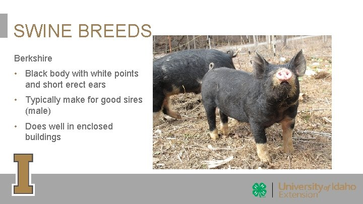 SWINE BREEDS Berkshire • Black body with white points and short erect ears •