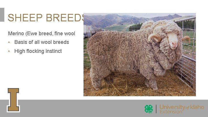 SHEEP BREEDS Merino (Ewe breed, fine wool • Basis of all wool breeds •