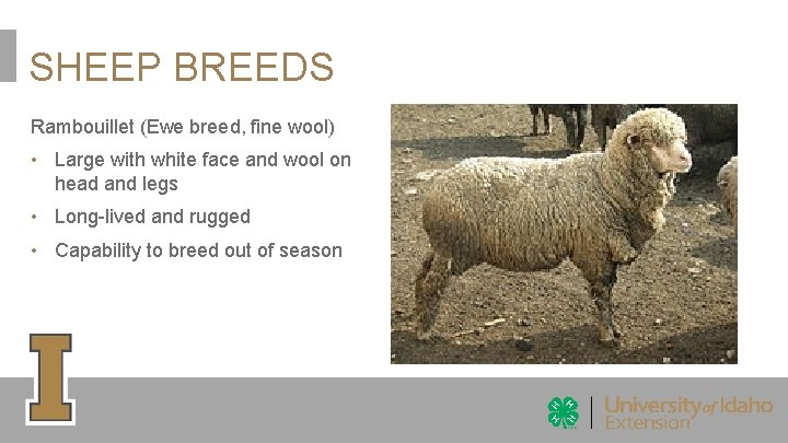 SHEEP BREEDS Rambouillet (Ewe breed, fine wool) • Large with white face and wool