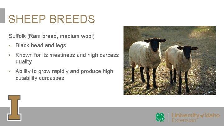 SHEEP BREEDS Suffolk (Ram breed, medium wool) • Black head and legs • Known