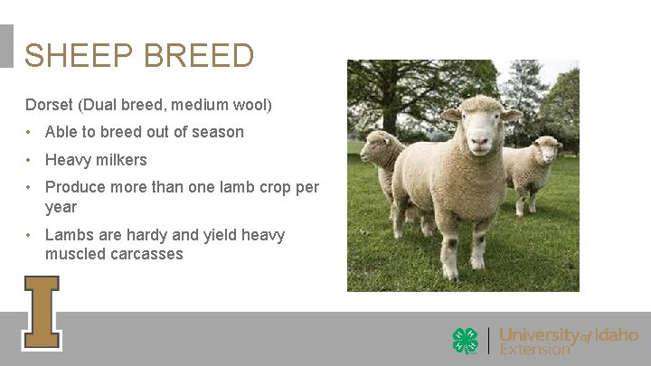 SHEEP BREED Dorset (Dual breed, medium wool) • Able to breed out of season