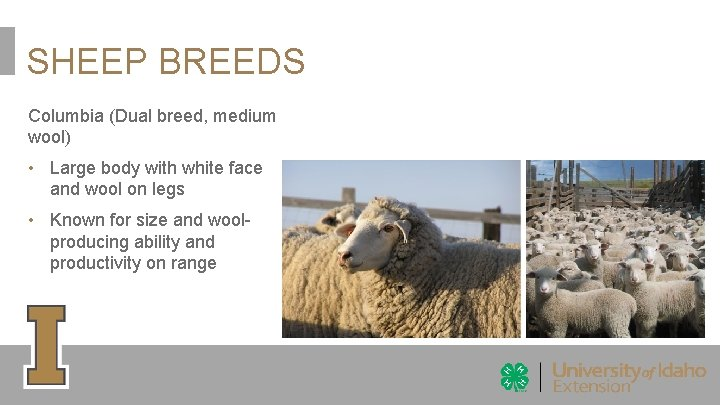 SHEEP BREEDS Columbia (Dual breed, medium wool) • Large body with white face and