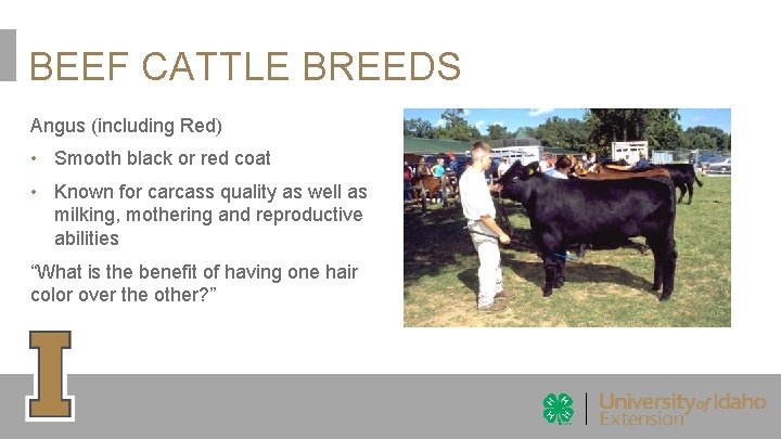 BEEF CATTLE BREEDS Angus (including Red) • Smooth black or red coat • Known