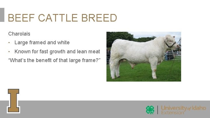 BEEF CATTLE BREED Charolais • Large framed and white • Known for fast growth