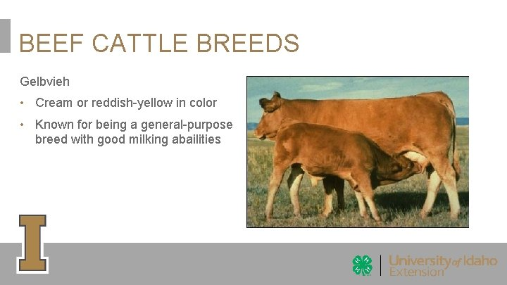 BEEF CATTLE BREEDS Gelbvieh • Cream or reddish-yellow in color • Known for being